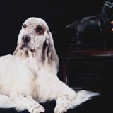 Feathers English Setters and Feathers Country Gypsy Horses